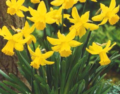 Narcissus 'February Gold' - paasbloem