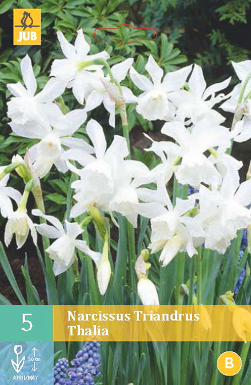 Narcissus 'Triandrus Thalia' - paasbloem
