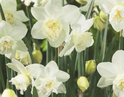 Narcissus 'White Marvel' - paasbloem