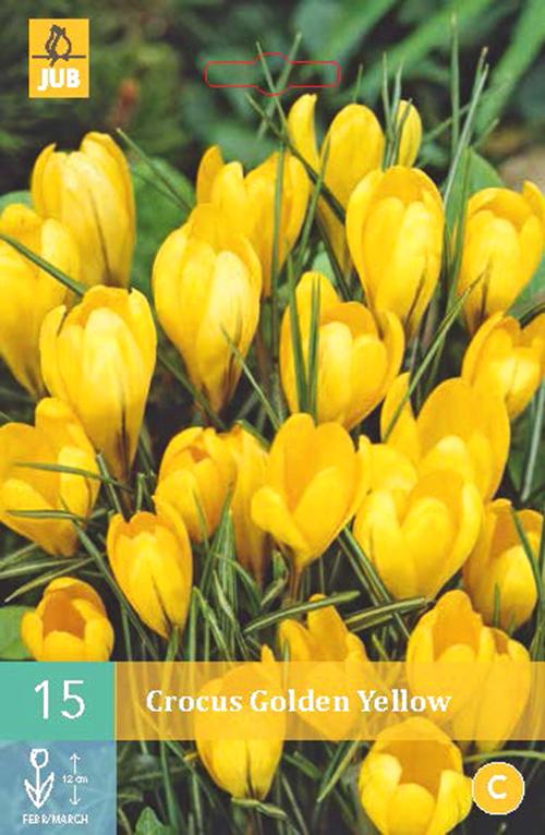 Crocus 'Golden Yellow' - krokus