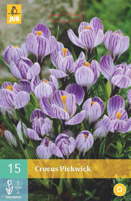Crocus 'Pickwick' - krokus
