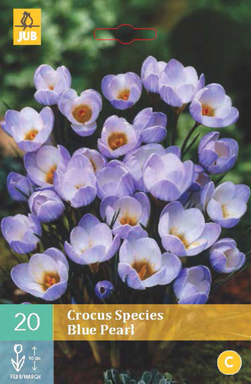 Crocus species 'Blue Pearl' - krokus
