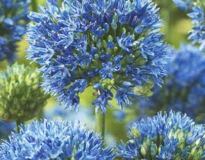 Allium Caeruleum - sierui