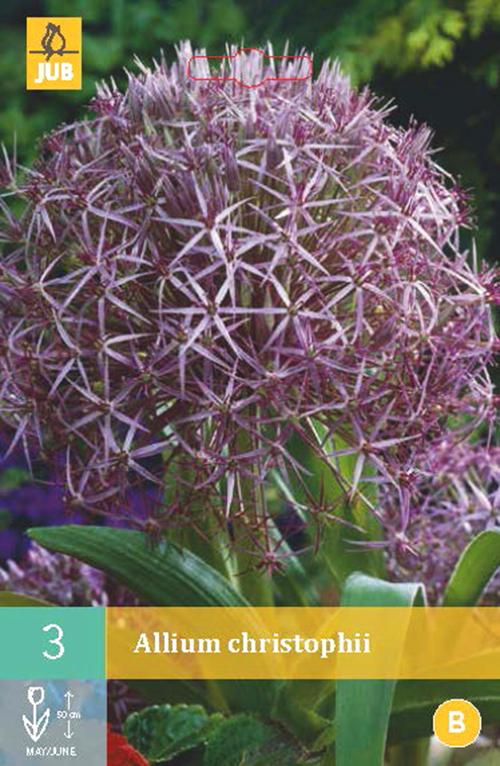Allium 'Christophii' - sierui