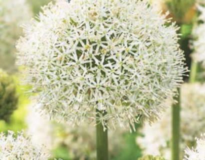 Allium 'Mont Blanc' - sierui