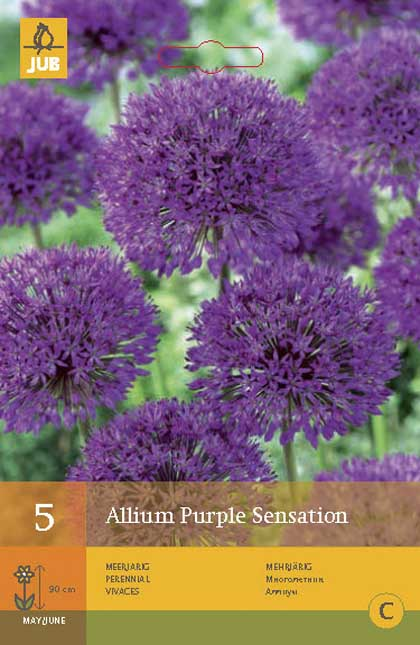Allium 'Purple Sensation' voorjaarsbloeier