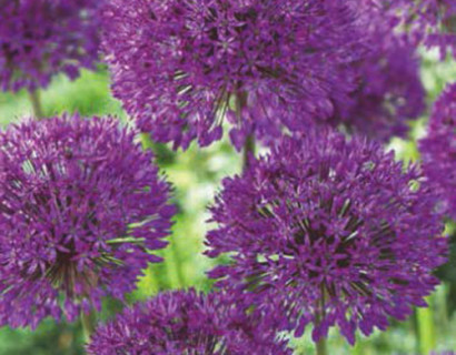 Allium 'Purple Sensation' - sierui
