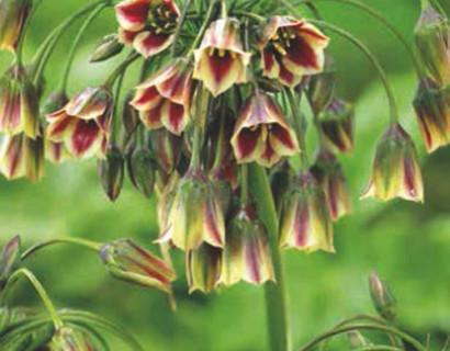 Allium (Nectaroscordum) Siculum - sierui