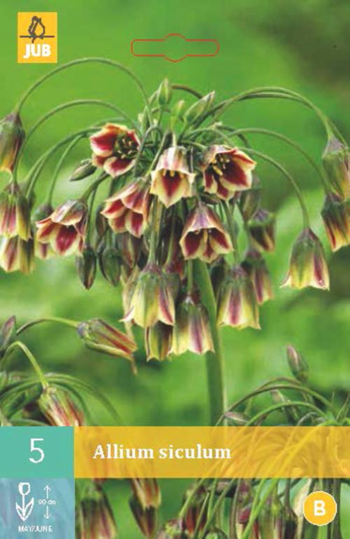 Allium (Nectaroscordum) Siculum -