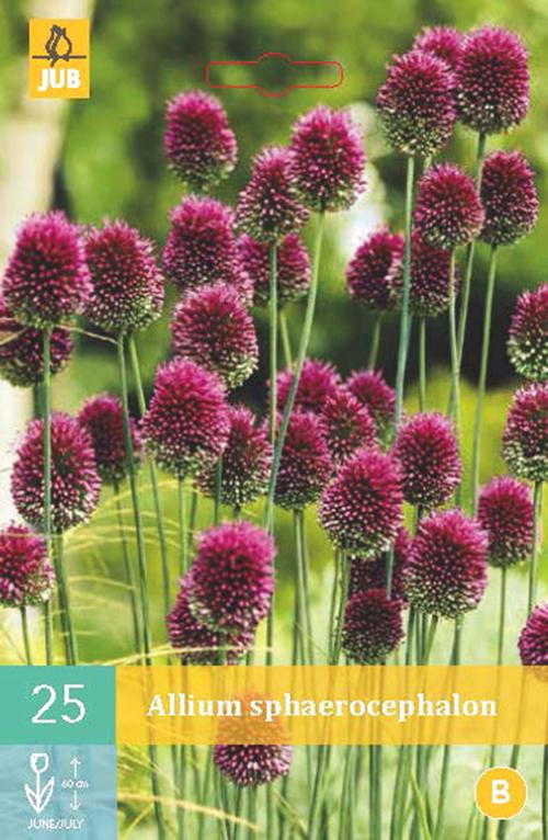 Allium Spaerocephalon - sierui