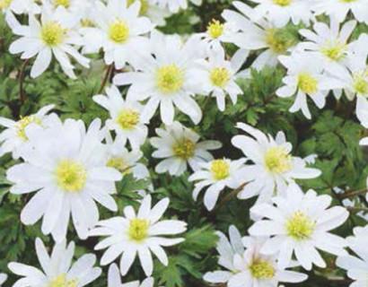 Anemone blanda 'White Splendour' - anemoon