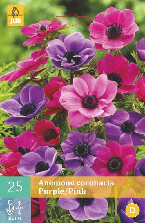 Anemone coronaria 'Paars/Roze' - anemoon