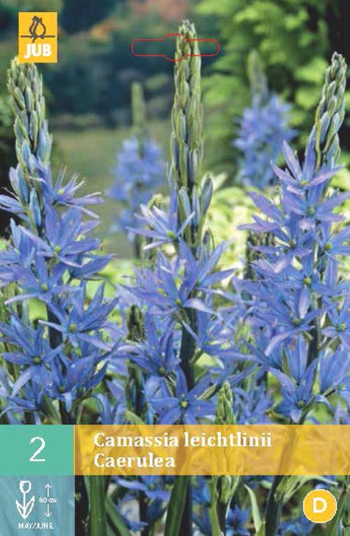 Camassia leichtlinii Caerulea - prairielelie