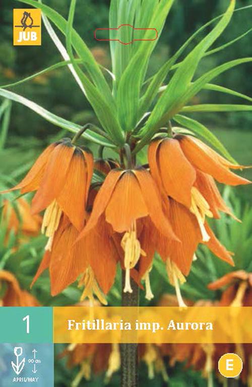 Fritillaria imperata 'Aurora' - keizerskroon