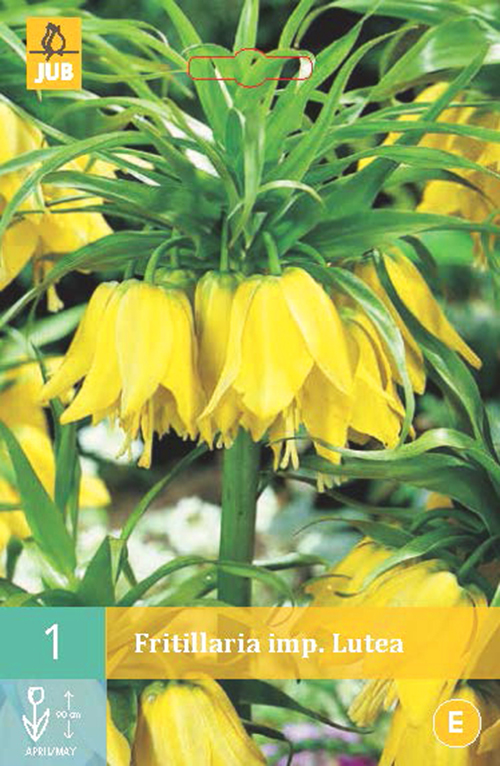 Fritillaria imperata 'Lutea' - keizerskroon