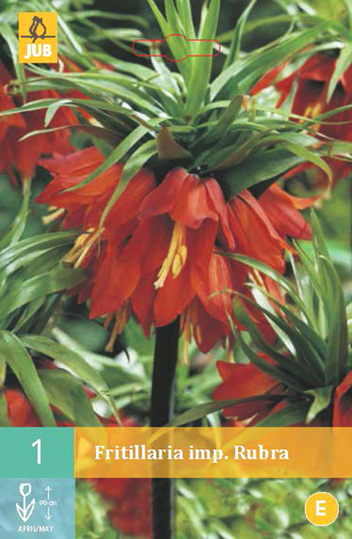 Fritillaria imperata 'Rubra' - keizerskroon