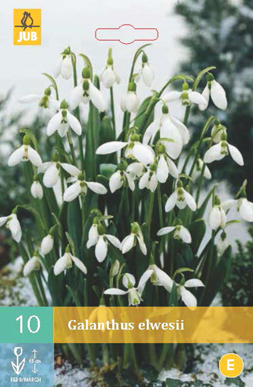 Galanthus Elwesii - sneeuwklokje