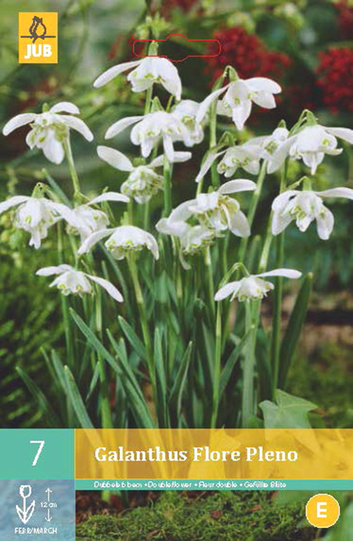 Galanthus 'Flore Pleno' - sneeuwklokje