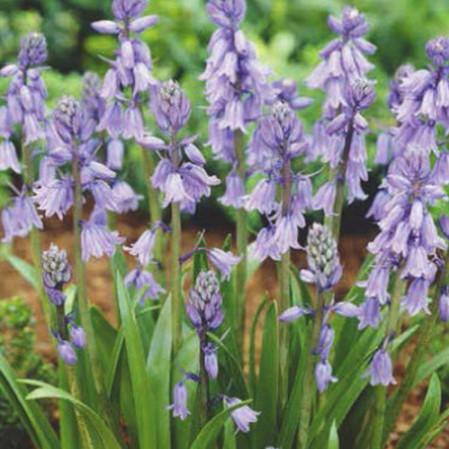 Hyacinthoides 'Hispanica blauw' - boshyacint