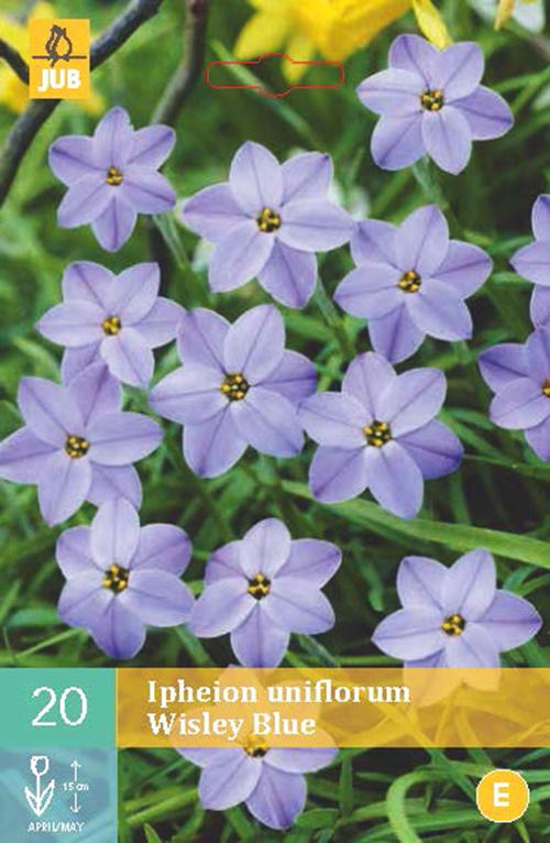 Ipheon uniflorum 'Wisley Blue' - voorjaarster