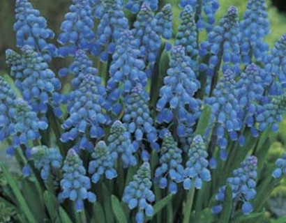 Blauw druifje pot 9 cm
