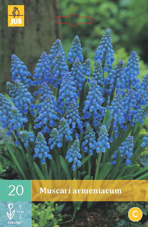 Muscari armeniacum - blauw druifje
