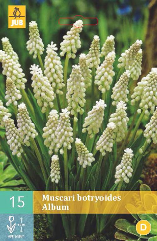 Muscari botryoides 'Album' - wit druifje