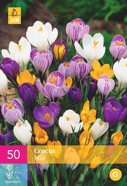 Crocus 'Grootbloemig Mix'  XXL - krokus