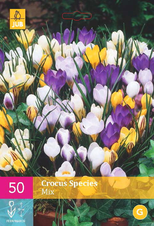 Crocus 'Species Mix'  XXL - krokus