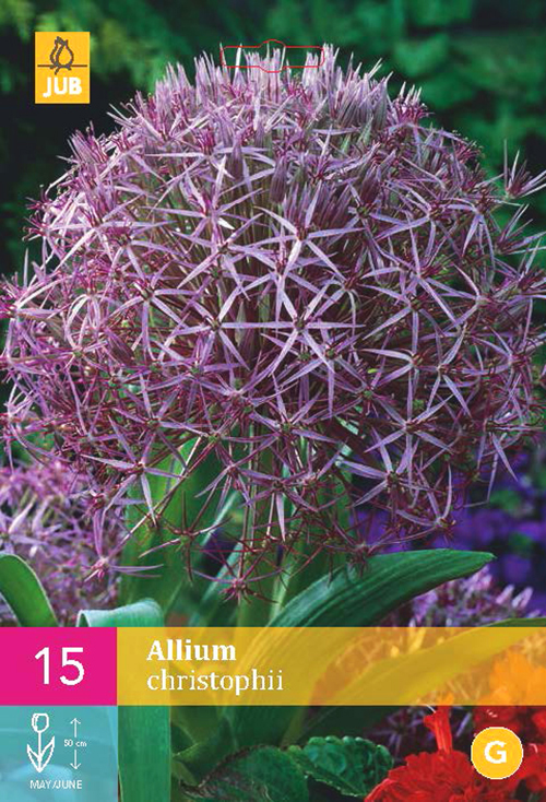 Allium 'Christophii'  XXL - sierui