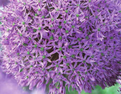 Allium 'Gladiator'  XXL - sierui