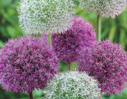 Allium 'Paars/Wit'  XXL - sierui
