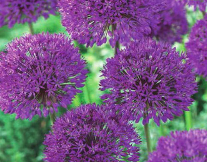 Allium 'Purple Sensation'  XXL - sierui