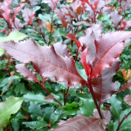 Photinia 'Magical Vulcano' - Glansmispel