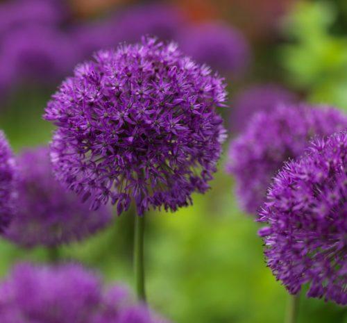 Allium 'Purple Sensation' (grote pot) - sierui