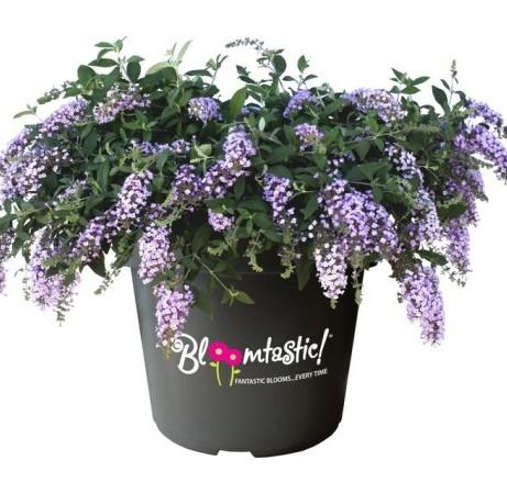 Buddleja 'Dreaming Lavender' - Vlinderstruik