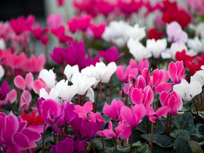 Cyclamen - Cyclaam