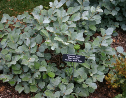Fothergilla major 'Blue Shadow' - Lampenpoetserstruik