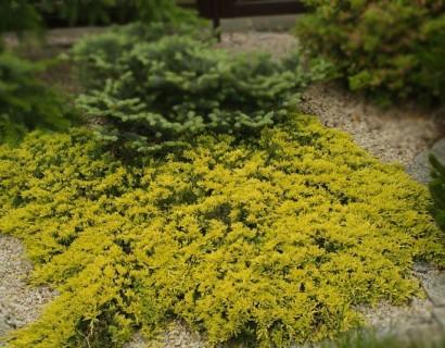 Juniperus horizontalis 'Golden Carpet' c3