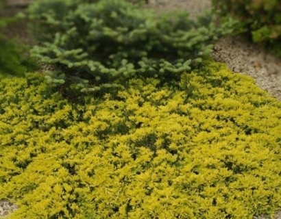 Juniperus horizontalis 'Golden Carpet' pot 2.5 liter