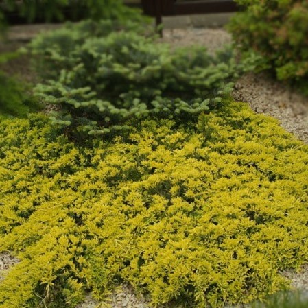 Juniperus horizontalis 'Golden Carpet' - jeneverbes