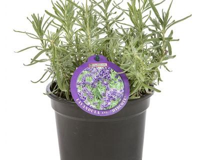 Lavandula angustifolia 'Hidcote' pot 1.5 liter - lavendel