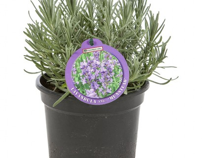 Lavandula angustifolia 'Munstead' pot 1.5 liter - lavendel
