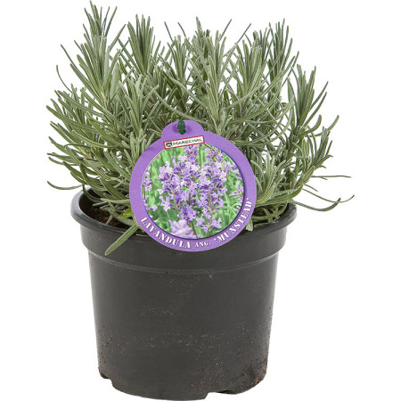 Lavandula angustifolia 'Munstead' pot 3 liter - lavendel