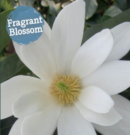 Michelia 'Fairy Magnolia White' - Magnolia