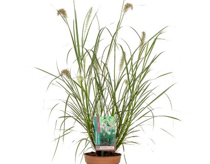 Pennisetum alopecuroides 'Hameln' pot 1.5 liter - lampenpoetsersgras