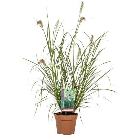 Pennisetum alopecuroides 'Hameln' pot 1.5 liter