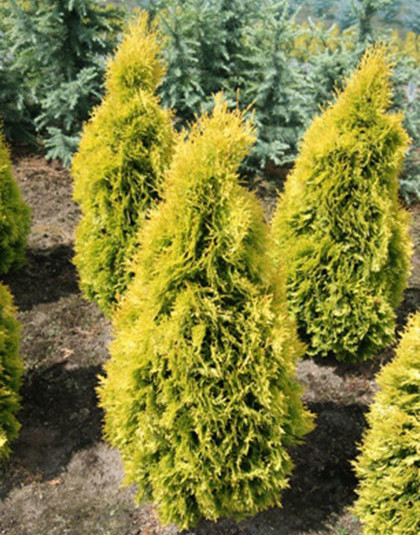 Thuja occidentalis 'Jantar' - levensboom