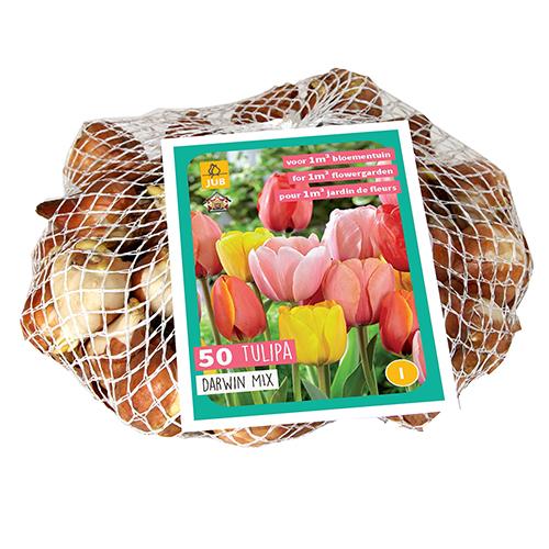 Tulipa 'Darwin Mix'  XXL - Tulp