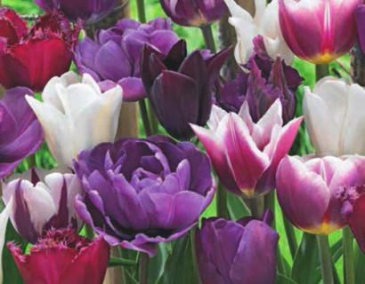 Tulipa 'Blueberry Mix'  XXL - Tulp